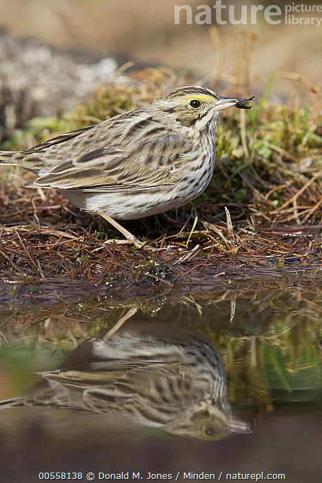 Savannah Sparrow (Passerculus sandwichensis) at pond, western Montana  ,  Adult, Color Image, Day, Full Length, Montana, Nobody, One Animal, Outdoors, Passerculus sandwichensis, Photography, Pond, Reflection, Savannah Sparrow, Side View, Songbird, Vertical, Wildlife,Savannah Sparrow,Montana, USA  ,  Donald M. Jones