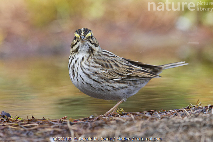 Savannah Sparrow (Passerculus sandwichensis) at pond, western Montana  ,  Adult, Color Image, Day, Full Length, Horizontal, Looking at Camera, Montana, Nobody, One Animal, Outdoors, Passerculus sandwichensis, Photography, Pond, Savannah Sparrow, Side View, Songbird, Wildlife,Savannah Sparrow,Montana, USA  ,  Donald M. Jones