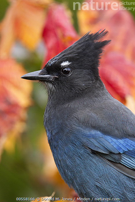 Steller's Jay (Cyanocitta stelleri), western Montana, Adult, Close Up, Color Image, Cyanocitta stelleri, Day, Full Length, Montana, Nobody, One Animal, Outdoors, Photography, Portrait, Profile, Side View, Songbird, Steller's Jay, Vertical, Wildlife,Steller's Jay,Montana, USA, Donald M. Jones