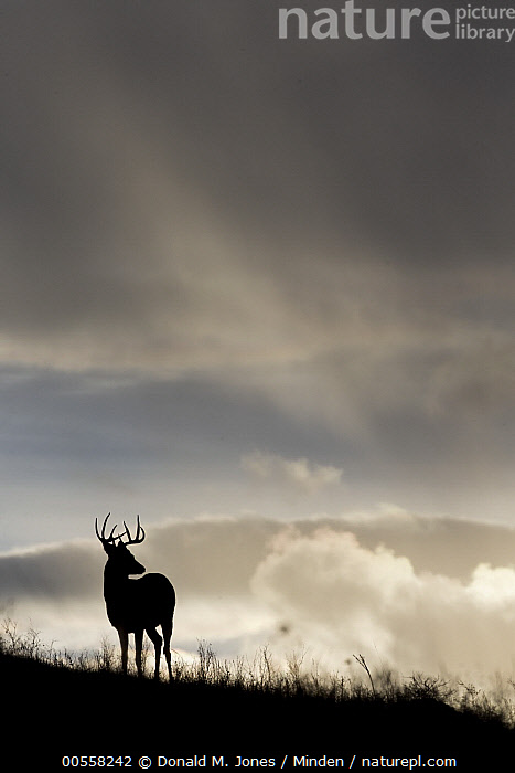 White-tailed Deer (Odocoileus virginianus) buck, central Montana, Adult, Backlighting, Buck, Color Image, Day, Full Length, Male, Montana, Nobody, Odocoileus virginianus, One Animal, Outdoors, Photography, Rear View, Silhouette, Vertical, White-tailed Deer, Wildlife,White-tailed Deer,Montana, USA, Donald M. Jones