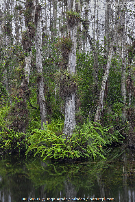 Bald Cypress (Taxodium distichum) trees in swamp with epiphytes and ferns, Everglades National Park, Florida, Bald Cypress, Color Image, Day, Epiphyte, Everglades National Park, Fern, Florida, Landscape, Nobody, Outdoors, Photography, Swamp, Taxodium distichum, Tree, Tree Trunk, Vertical,Bald Cypress,Florida, USA, Ingo Arndt