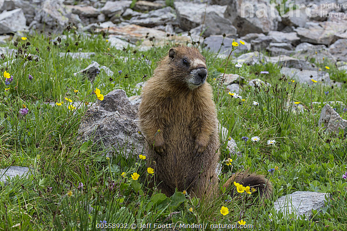 Yellow-bellied Marmot (Marmota flaviventris), Yankee Boy Basin, Uncompahgre National Forest, Colorado  ,  Adult, Color Image, Colorado, Day, Front View, Full Length, Horizontal, Marmota flaviventris, Nobody, One Animal, Outdoors, Photography, Standing, Uncompahgre National Forest, Upright, Wildlife, Yankee Boy Basin, Yellow-bellied Marmot,Yellow-bellied Marmot,Colorado, USA  ,  Jeff Foott