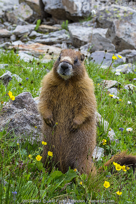 Yellow-bellied Marmot (Marmota flaviventris), Yankee Boy Basin, Uncompahgre National Forest, Colorado  ,  Adult, Color Image, Colorado, Day, Front View, Full Length, Looking at Camera, Marmota flaviventris, Nobody, One Animal, Outdoors, Photography, Standing, Uncompahgre National Forest, Upright, Vertical, Wildlife, Yankee Boy Basin, Yellow-bellied Marmot,Yellow-bellied Marmot,Colorado, USA  ,  Jeff Foott