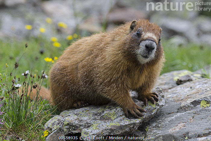 Yellow-bellied Marmot (Marmota flaviventris), Yankee Boy Basin, Uncompahgre National Forest, Colorado  ,  Adult, Color Image, Colorado, Day, Full Length, Horizontal, Looking at Camera, Marmota flaviventris, Nobody, One Animal, Outdoors, Photography, Side View, Uncompahgre National Forest, Wildlife, Yankee Boy Basin, Yellow-bellied Marmot,Yellow-bellied Marmot,Colorado, USA  ,  Jeff Foott