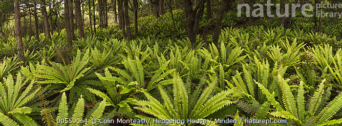 Crown Fern (Blechnum discolor) group on floor of podocarp forest, Rakeahua, Stewart Island, New Zealand  ,  Blechnum discolor, Color Image, Crown Fern, Day, Forest Floor, Green, Horizontal, Landscape, New Zealand, Nobody, Outdoors, Panoramic, Photography, Stewart Island,Crown Fern,New Zealand  ,  Colin Monteath/ Hedgehog House