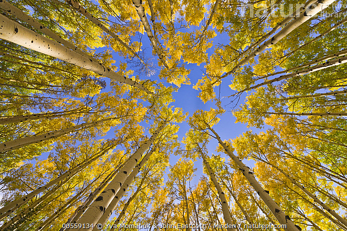 Quaking Aspen (Populus tremuloides) trees in autumn, Utah, Autumn, Canopy, Color Image, Day, Fall Colors, Forest, Horizontal, Landscape, Looking Up, Low Angle View, Nobody, Outdoors, Overhead, Photography, Populus tremuloides, Quaking Aspen, Tree, Tree Trunk, Utah, Wide-angle Lens, Yellow,Quaking Aspen,Utah, USA, Yva Momatiuk & John Eastcott