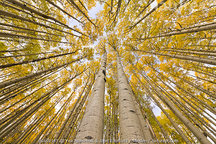 Quaking Aspen (Populus tremuloides) trees in autumn, Rocky Mountains, Colorado, Autumn, Canopy, Color Image, Colorado, Day, Fall Colors, Forest, Horizontal, Interior, Landscape, Looking Up, Low Angle View, Nobody, Outdoors, Overhead, Photography, Populus tremuloides, Quaking Aspen, Rocky Mountains, Tree, Tree Trunk, Wide-angle Lens, Yellow,Quaking Aspen,Colorado, USA, Yva Momatiuk & John Eastcott
