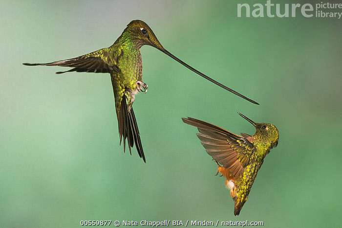 Sword-billed Hummingbird (Ensifera ensifera) and Chestnut-breasted Coronet (Boissonneaua matthewsii) fighting, Napo, Ecuador  ,  Adult, Boissonneaua matthewsii, Chestnut-breasted Coronet, Color Image, Competition, Day, Difference, Ecuador, Ensifera ensifera, Evolution, Fighting, Flying, Full Length, High Speed, Horizontal, Mixed, Napo, Nobody, Outdoors, Photography, Side View, Sword-billed Hummingbird, Two Animals, Wildlife,Sword-billed Hummingbird,Chestnut-breasted Coronet,Boissonneaua matthewsii,Ecuador  ,  Nate Chappell/ BIA