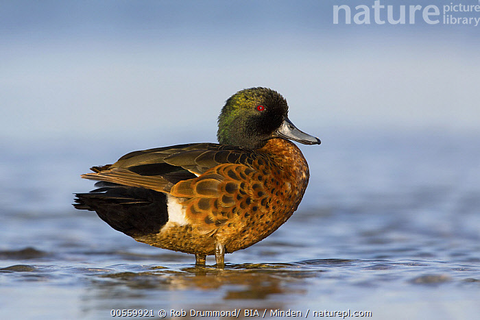 Chestnut Teal (Anas castanea) male, Victoria, Australia  ,  Adult, Anas castanea, Australia, Chestnut Teal, Color Image, Day, Full Length, Horizontal, Male, Nobody, One Animal, Outdoors, Photography, Side View, Victoria, Waterfowl, Wildlife,Chestnut Teal,Australia  ,  Rob Drummond/ BIA