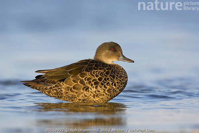 Chestnut Teal (Anas castanea) female, Victoria, Australia  ,  Adult, Anas castanea, Australia, Chestnut Teal, Color Image, Day, Female, Full Length, Horizontal, Nobody, One Animal, Outdoors, Photography, Side View, Victoria, Waterfowl, Wildlife,Chestnut Teal,Australia  ,  Rob Drummond/ BIA