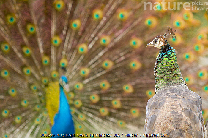 Indian Peafowl (Pavo cristatus) female watching male performing courtship display, Castilla Leon, Spain  ,  Adult, Castile-Leon, Color Image, Courting, Day, Dimorphic, Displaying, Female, Front View, Gamebird, Head and Shoulders, Horizontal, Indian Peafowl, Male, Nobody, Outdoors, Pavo cristatus, Photography, Portrait, Profile, Rear View, Sexual Dimorphism, Spain, Spreading, Two Animals, Waist Up, Watching, Wildlife,Indian Peafowl,Spain  ,  Brais Seara Fernandez/ BIA