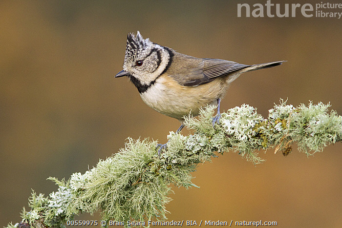 Crested Tit (Lophophanes cristatus), Galicia, Spain  ,  Adult, Color Image, Crested Tit, Day, Full Length, Galicia, Horizontal, Lophophanes cristatus, Nobody, One Animal, Outdoors, Photography, Side View, Songbird, Spain, Wildlife,Crested Tit,Spain  ,  Brais Seara Fernandez/ BIA