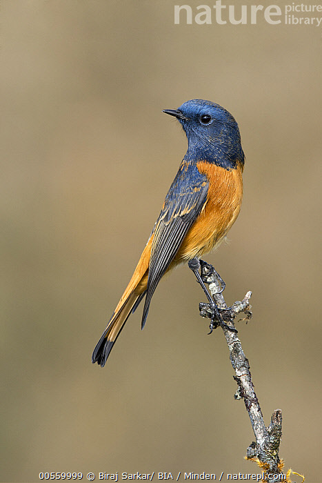 Blue-fronted Redstart (Phoenicurus frontalis) male, Darjeeling, India  ,  Adult, Blue-fronted Redstart, Color Image, Darjeeling, Day, Full Length, India, Male, Nobody, One Animal, Outdoors, Phoenicurus frontalis, Photography, Side View, Songbird, Vertical, Wildlife,Blue-fronted Redstart,India  ,  Biraj Sarkar/ BIA