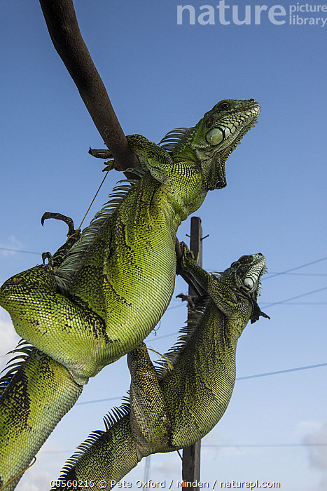 Green Iguana (Iguana iguana) pair in market, to be sold for meat consumption, Georgetown, Guyana, Adult, Bushmeat, Captive, Color Image, Day, Environmental Issue, Food, Georgetown, Green Iguana, Guyana, Iguana iguana, Low Angle View, Market, Nobody, Outdoors, Photography, Side View, Three Quarter Length, Two Animals, Vertical, Wildlife,Green Iguana,Guyana, Pete Oxford