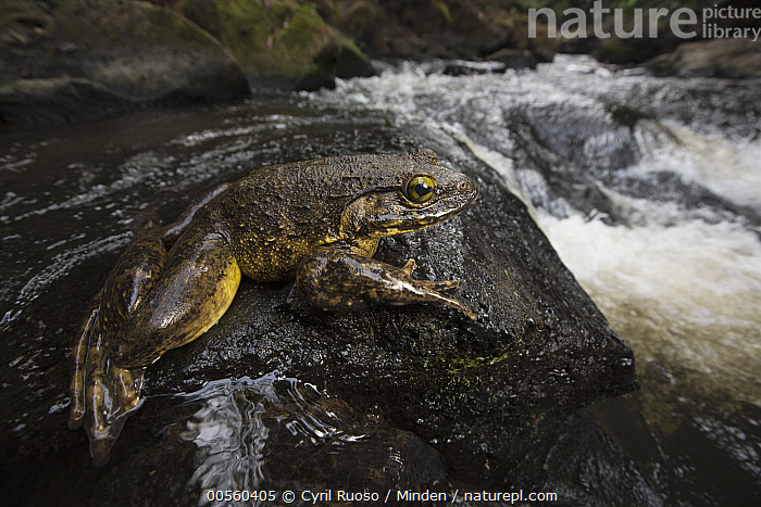 Goliath Frog (Conraua goliath) near river, endangered, Cameroon, Adult, Animal in Habitat, Cameroon, Color Image, Conraua goliath, Day, Endangered Species, Full Length, Goliath Frog, Horizontal, Large, Nobody, One Animal, Outdoors, Photography, River, Side View, Wildlife,Goliath Frog,Cameroon, Cyril Ruoso