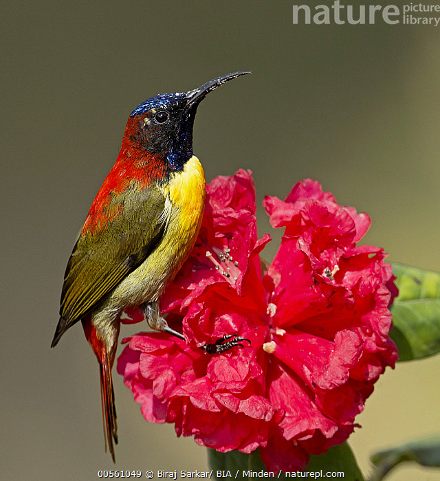 Fire-tailed Sunbird (Aethopyga ignicauda) male, Darjeeling, India  ,  Adult, Aethopyga ignicauda, Color Image, Darjeeling, Day, Fire-tailed Sunbird, Full Length, India, Male, Nobody, One Animal, Outdoors, Photography, Red, Side View, Songbird, Vertical, Wildlife,Fire-tailed Sunbird,India  ,  Biraj Sarkar/ BIA