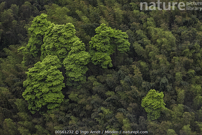 Moso Bamboo (Phyllostachys heterocycla) forest, Shunan Zhuhai National Park, Sichuan, China, Aerial View, Canopy, China, Color Image, Day, Forest, Horizontal, Landscape, Moso Bamboo, Nobody, Outdoors, Photography, Phyllostachys heterocycla, Shunan Zhuhai National Park, Sichuan,Moso Bamboo,China, Ingo Arndt