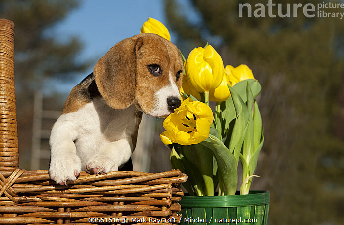 Beagle (Canis familiaris) puppy smelling tulip  ,  Baby, Beagle, Canis familiaris, Color Image, Cute, Day, Front View, Horizontal, Nobody, One Animal, Outdoors, Photography, Puppy, Smelling, Tulip, Waist Up,Beagle  ,  Mark Raycroft