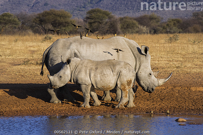 White Rhinoceros (Ceratotherium simum) mother and calf with Red-billed Oxpeckers (Buphagus erythrorhynchus), South Africa  ,  Adult, Baby, Buphagus erythrorhynchus, Ceratotherium simum, Color Image, Day, Disk999, Female, Full Length, Horizontal, Large Group of Animals, Mother, Mutualism, Nobody, Outdoors, Parent, Photography, Red-billed Oxpecker, Side View, Songbird, South Africa, Symbiosis, White Rhinoceros, Wildlife,White Rhinoceros,Red-billed Oxpecker,Buphagus erythrorhynchus,South Africa  ,  Pete Oxford