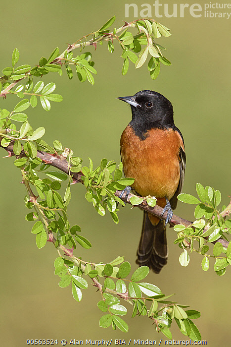 Orchard Oriole (Icterus spurius) male, Texas  ,  Adult,Orchard Oriole,Texas, USA  ,  Alan Murphy/ BIA