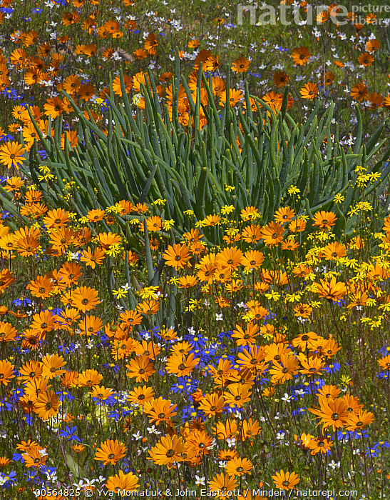 Glandular Cape Marigold (Dimorphotheca sinuata), Kingfisher Daisy (Felicia bergeriana), and yellow daisy flowers in spring, Namaqualand, South Africa  ,  Color Image, Daisy, Day, Dimorphotheca sinuata, Felicia bergeriana, Flower, Glandular Cape Marigold, Kingfisher Daisy, Namaqualand, Nobody, Orange, Outdoors, Photography, South Africa, Spring, Vertical, Wildflower,Glandular Cape Marigold,Kingfisher Daisy,Felicia bergeriana,South Africa  ,  Yva Momatiuk & John Eastcott