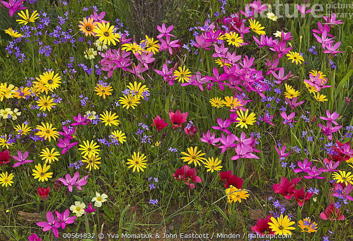 Glandular Cape Marigold (Dimorphotheca sinuata) and Painted Petal (Lapeirousia silenoides) flowers in spring, Namaqualand, South Africa  ,  Color Image, Day, Dimorphotheca sinuata, Flower, Glandular Cape Marigold, Horizontal, Lapeirousia silenoides, Namaqualand, Nobody, Outdoors, Painted Petal, Photography, Pink, South Africa, Spring, Wildflower, Yellow,Glandular Cape Marigold,Painted Petal,Lapeirousia silenoides,South Africa  ,  Yva Momatiuk & John Eastcott