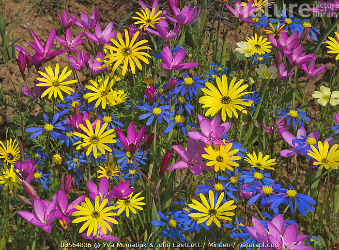Glandular Cape Marigold (Dimorphotheca sinuata), Kingfisher Daisy (Felicia bergeriana), and Painted Petal (Lapeirousia silenoides) flowers in spring, Namaqualand, South Africa  ,  Blue, Color Image, Colorful, Day, Dimorphotheca sinuata, Felicia bergeriana, Flower, Glandular Cape Marigold, Horizontal, Kingfisher Daisy, Lapeirousia silenoides, Namaqualand, Nobody, Outdoors, Painted Petal, Photography, Pink, South Africa, Spring, White, Wildflower, Yellow,Glandular Cape Marigold,Kingfisher Daisy,Felicia bergeriana,South Africa  ,  Yva Momatiuk & John Eastcott