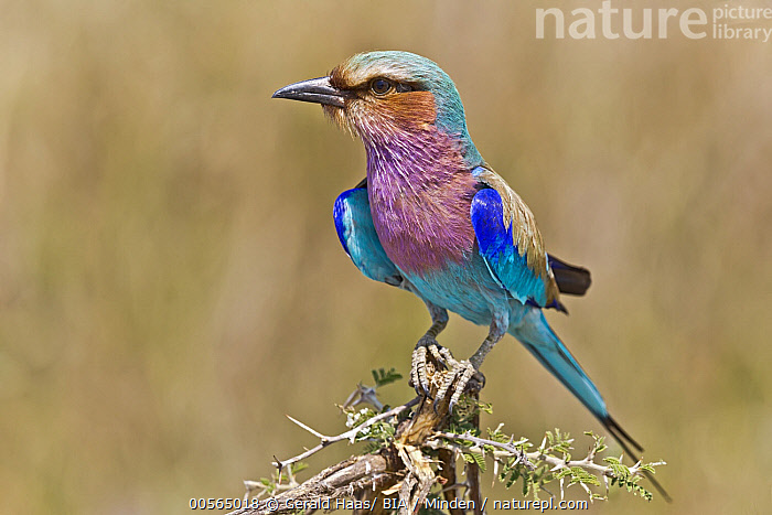 Lilac-breasted Roller (Coracias caudata), Moremi Game Reserve, Botswana, Adult, Botswana, Color Image, Coracias caudata, Day, Full Length, Horizontal, Lilac-breasted Roller, Moremi Game Reserve, Nobody, One Animal, Outdoors, Photography, Side View, Wildlife,Lilac-breasted Roller,Botswana, Gerald Haas/ BIA