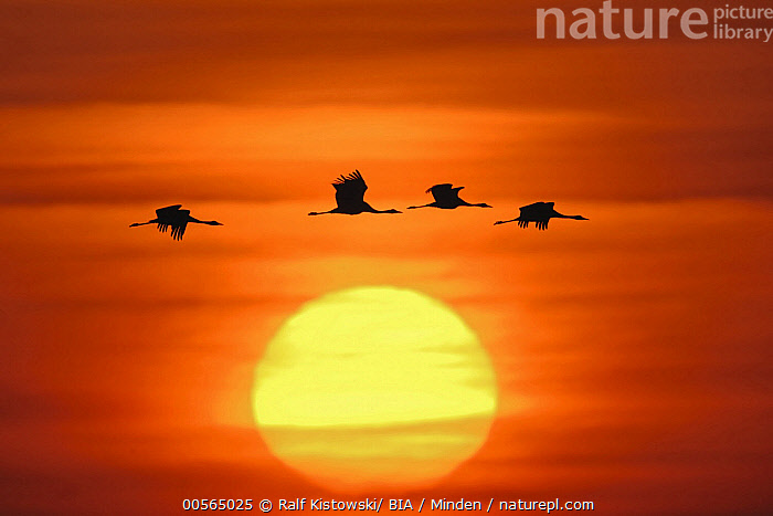 Common Crane (Grus grus) group flying at sunset, Mecklenburg-Vorpommern, Germany, Adult, Color Image, Common Crane, Day, Flying, Four Animals, Full Length, Germany, Grus grus, Horizontal, Mecklenburg-Vorpommern, Nobody, Outdoors, Photography, Side View, Silhouette, Sun, Sunrise, Sunset, Wildlife,Common Crane,Germany, Ralf Kistowski/ BIA