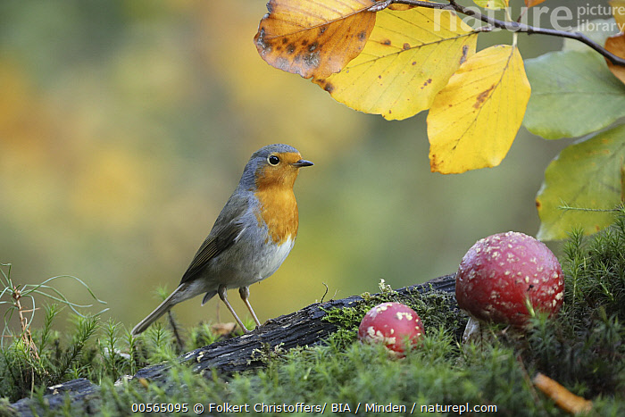 European Robin (Erithacus rubecula), Lower Saxony, Germany  ,  Adult, Color Image, Day, Erithacus rubecula, European Robin, Full Length, Germany, Horizontal, Lower Saxony, Nobody, One Animal, Outdoors, Photography, Side View, Songbird, Wildlife,European Robin,Germany  ,  Folkert Christoffers/ BIA