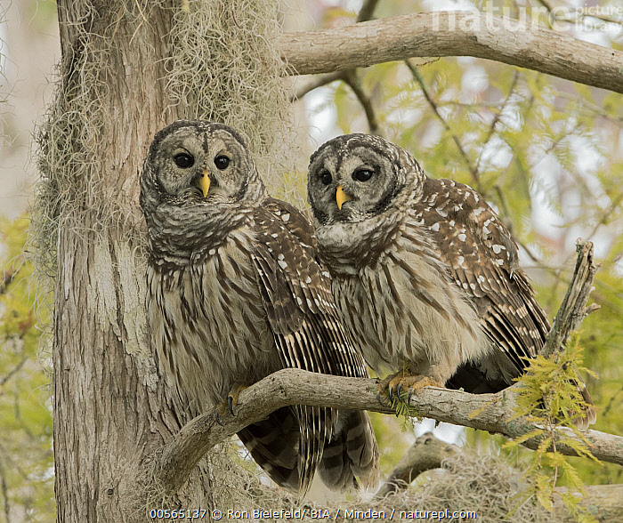 Barred Owl (Strix varia) pair, Florida, Adult, Barred Owl, Color Image, Day, Florida, Full Length, Horizontal, Low Angle View, Nobody, Outdoors, Photography, Raptor, Side View, Strix varia, Two Animals, Wildlife,Barred Owl,Florida, USA, Ron Bielefeld/ BIA