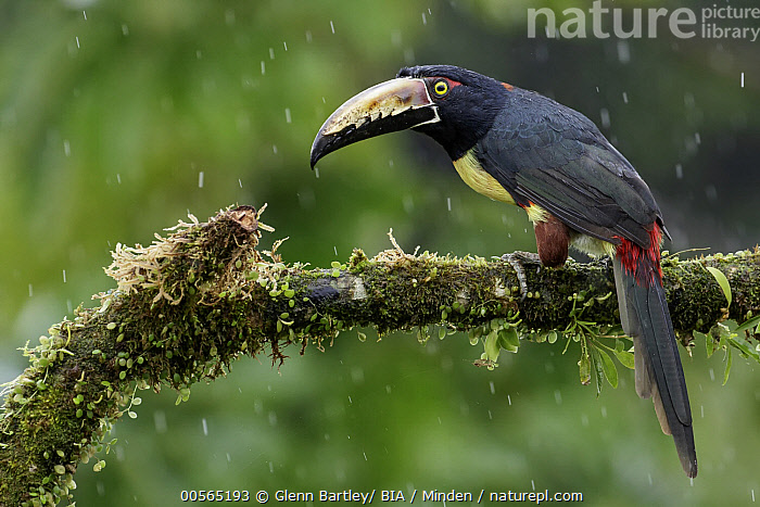 Collared Aracari (Pteroglossus torquatus) during rainfall, Costa Rica  ,  Adult, Collared Aracari, Color Image, Costa Rica, Day, Full Length, Horizontal, Nobody, One Animal, Outdoors, Photography, Pteroglossus torquatus, Raining, Rainfall, Side View, Wildlife,Collared Aracari,Costa Rica  ,  Glenn Bartley/ BIA