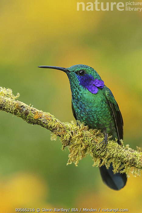 Green Violet-ear (Colibri thalassinus) hummingbird, Colombia  ,  Adult, Colibri thalassinus, Color Image, Colombia, Day, Full Length, Green Violet-ear, Hummingbird, Nobody, One Animal, Outdoors, Photography, Side View, Vertical, Wildlife,Green Violet-ear,Colombia  ,  Glenn Bartley/ BIA