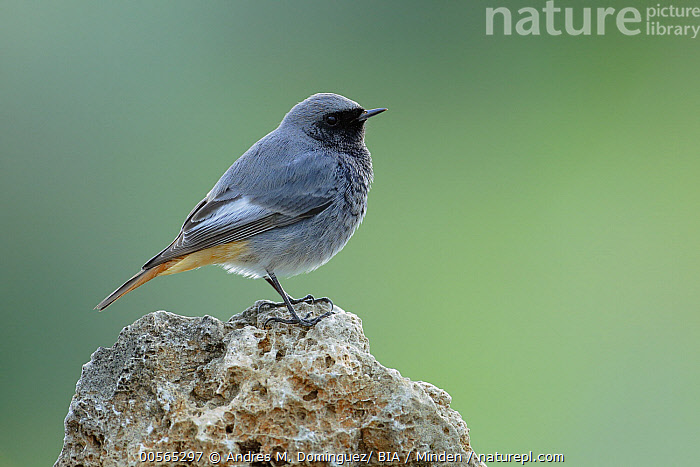 Black Redstart (Phoenicurus ochruros) male, Cadiz, Spain, Adult, Black Redstart, Cadiz, Color Image, Day, Full Length, Horizontal, Male, Nobody, One Animal, Outdoors, Phoenicurus ochruros, Photography, Side View, Songbird, Spain, Wildlife,Black Redstart,Spain, Andres M. Dominguez/ BIA