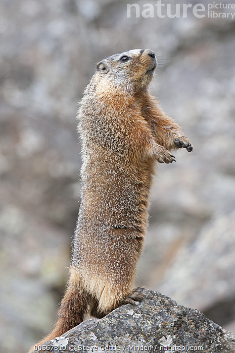 Yellow-bellied Marmot (Marmota flaviventris) on alert, Yellowstone National Park, Wyoming  ,  Adult, Alert, Color Image, Day, Full Length, Marmota flaviventris, Nobody, One Animal, Outdoors, Photography, Side View, Standing, Upright, Vertical, Wildlife, Wyoming, Yellow-bellied Marmot, Yellowstone National Park,Yellow-bellied Marmot,Wyoming, USA  ,  Steve Gettle