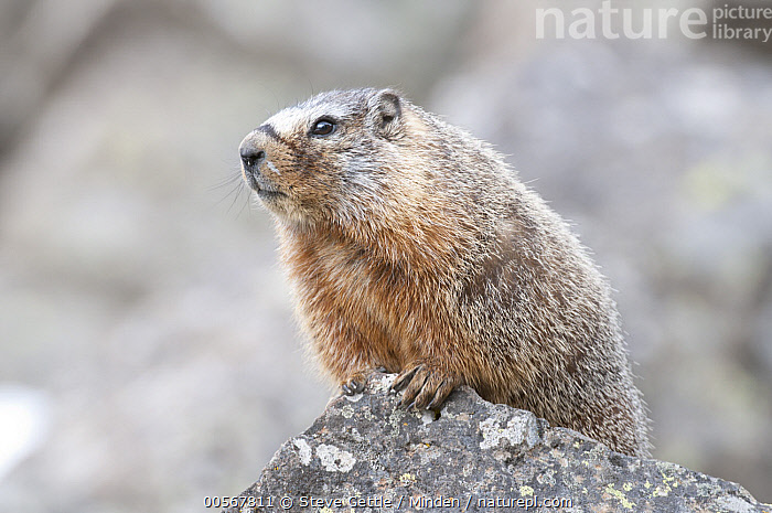 Yellow-bellied Marmot (Marmota flaviventris), Yellowstone National Park, Wyoming  ,  Adult, Color Image, Day, Horizontal, Marmota flaviventris, Nobody, One Animal, Outdoors, Photography, Side View, Waist Up, Wildlife, Wyoming, Yellow-bellied Marmot, Yellowstone National Park,Yellow-bellied Marmot,Wyoming, USA  ,  Steve Gettle