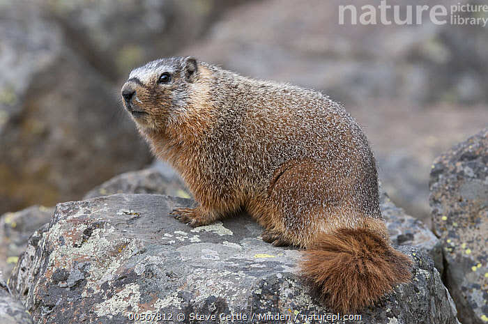 Yellow-bellied Marmot (Marmota flaviventris), Yellowstone National Park, Wyoming  ,  Adult, Color Image, Day, Full Length, Horizontal, Marmota flaviventris, Nobody, One Animal, Outdoors, Photography, Side View, Wildlife, Wyoming, Yellow-bellied Marmot, Yellowstone National Park,Yellow-bellied Marmot,Wyoming, USA  ,  Steve Gettle