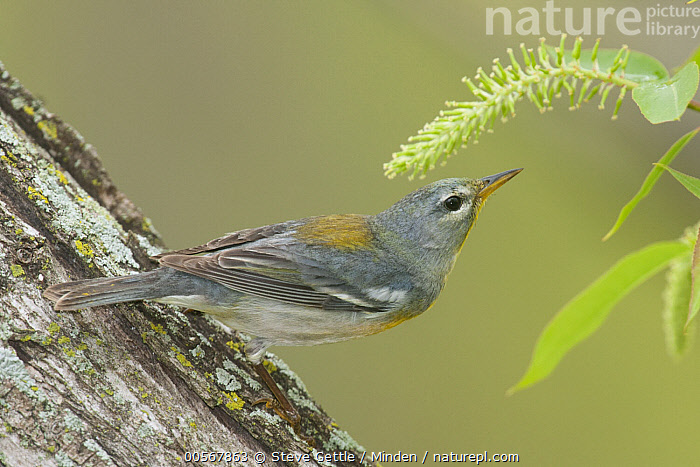 Northern Parula (Setophaga americana), Crane Creek State Park, Ohio  ,  Adult, Color Image, Crane Creek State Park, Day, Full Length, Horizontal, Nobody, Northern Parula, Ohio, One Animal, Outdoors, Photography, Setophaga americana, Side View, Songbird, Wildlife,Northern Parula,Ohio, USA  ,  Steve Gettle