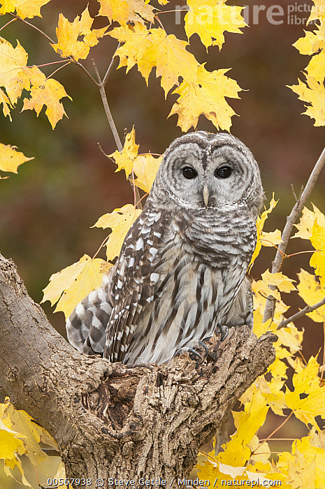Barred Owl (Strix varia), Howell Nature Center, Michigan, Adult, Autumn, Barred Owl, Captive, Color Image, Day, Full Length, Howell Nature Center, Looking at Camera, Michigan, Nobody, One Animal, Outdoors, Photography, Raptor, Side View, Strix varia, Vertical, Wildlife,Barred Owl,Michigan, USA, Steve Gettle