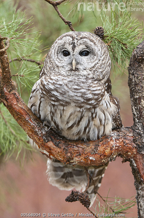 Barred Owl (Strix varia), Howell Nature Center, Michigan, Adult, Barred Owl, Captive, Color Image, Day, Front View, Full Length, Howell Nature Center, Michigan, Nobody, One Animal, Outdoors, Photography, Raptor, Strix varia, Vertical, Wildlife,Barred Owl,Michigan, USA, Steve Gettle