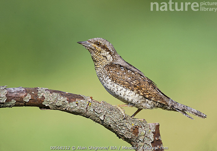 """Eurasian Wryneck (Jynx torquilla), Aosta Valley, Italy  ,  """"Adult, Aosta Valley, Color Image, Day, Eurasian Wryneck, Full Length, Horizontal, Italy, Jynx torquilla, Nobody, One Animal, Outdoors, Photography, Side View, Wildlife"""",Eurasian Wryneck,Italy  ,  Alain Ghignone/ BIA"""
