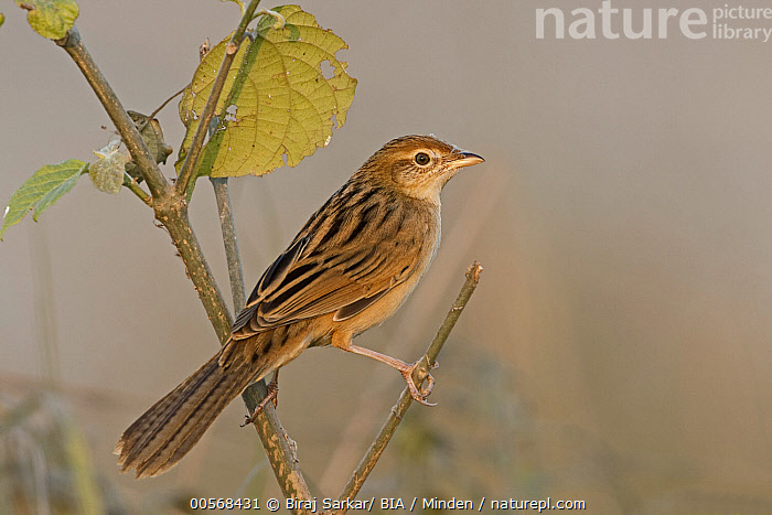 """Striated Grassbird (Megalurus palustris), West Bengal, India  ,  """"Adult, Color Image, Day, Full Length, Horizontal, India, Megalurus palustris, Nobody, One Animal, Outdoors, Photography, Side View, Songbird, Striated Grassbird, West Bengal, Wildlife"""",Striated Grassbird,India  ,  Biraj Sarkar/ BIA"""