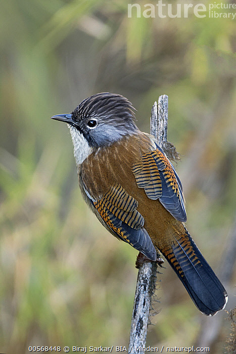 """Hoary-throated Barwing (Actinodura nipalensis), West Bengal, India  ,  """"Actinodura nipalensis, Adult, Color Image, Day, Full Length, Hoary-throated Barwing, India, Nobody, One Animal, Outdoors, Photography, Rear View, Songbird, Vertical, West Bengal, Wildlife"""",Hoary-throated Barwing,India  ,  Biraj Sarkar/ BIA"""