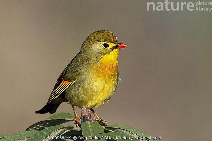"""Red-billed Leiothrix (Leiothrix lutea), West Bengal, India  ,  """"Adult, Color Image, Day, Full Length, Horizontal, India, Leiothrix lutea, Nobody, One Animal, Outdoors, Photography, Red-billed Leiothrix, Side View, Songbird, West Bengal, Wildlife"""",Red-billed Leiothrix,India  ,  Biraj Sarkar/ BIA"""