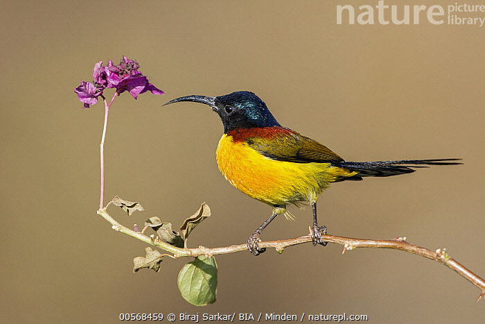"""Green-tailed Sunbird (Aethopyga nipalensis) male, West Bengal, India  ,  """"Adult, Aethopyga nipalensis, Color Image, Day, Full Length, Green-tailed Sunbird, Horizontal, India, Male, Nobody, One Animal, Outdoors, Photography, Side View, Songbird, West Bengal, Wildlife"""",Green-tailed Sunbird,India  ,  Biraj Sarkar/ BIA"""