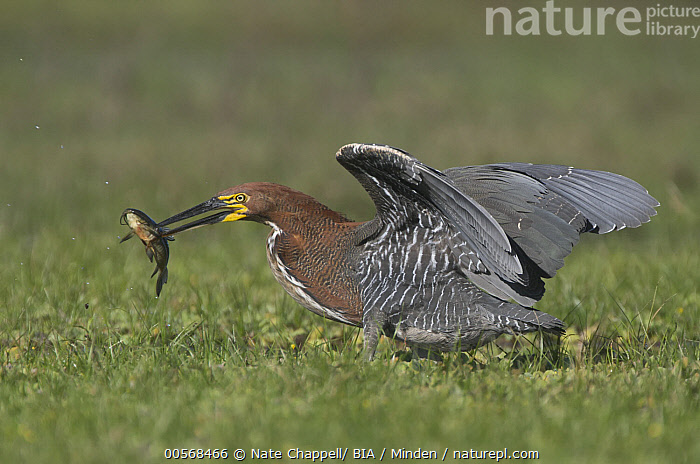 """Rufescent Tiger-Heron (Tigrisoma lineatum) with fish prey, Corrientes, Argentina, """"Adult, Argentina, Carrying, Color Image, Corrientes, Day, Fish, Full Length, Horizontal, Nobody, One Animal, Outdoors, Photography, Predating, Predator, Prey, Rufescent Tiger-Heron, Side View, Tigrisoma lineatum, Wading Bird, Wildlife"""",Rufescent Tiger-Heron,Argentina, Nate Chappell/ BIA"""