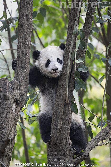 Giant Panda (Ailuropoda melanoleuca) six-to-eight month old cub in tree, Chengdu, China, Ailuropoda melanoleuca, Arboreal, Baby, Captive, Chengdu, China, Climbing, Color Image, Cub, Day, Front View, Full Length, Giant Panda, Looking at Camera, Nobody, One Animal, Outdoors, Photography, Threatened Species, Vertical, Vulnerable Species, Wildlife,Giant Panda,China, Suzi Eszterhas