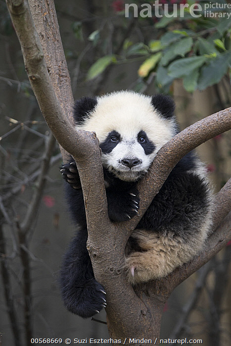 Giant Panda (Ailuropoda melanoleuca) six-to-eight month old cub in tree, Chengdu, China, Ailuropoda melanoleuca, Arboreal, Baby, Captive, Chengdu, China, Color Image, Cub, Cute, Day, Emoting, Front View, Full Length, Giant Panda, Looking at Camera, Low Angle View, Nobody, One Animal, Outdoors, Photography, Threatened Species, Vertical, Vulnerable Species, Wildlife,Giant Panda,China, Suzi Eszterhas