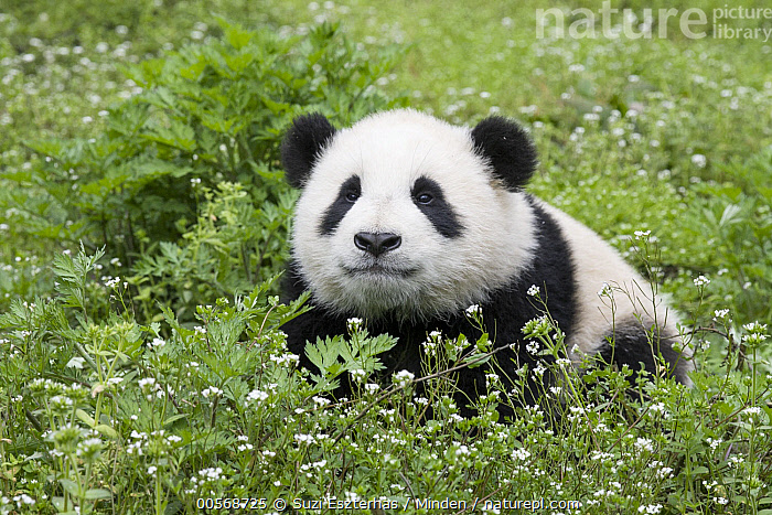 Giant Panda (Ailuropoda melanoleuca) six-to-eight month old cub, Bifengxia Panda Base, Sichuan, China, Ailuropoda melanoleuca, Baby, Bifengxia Panda Base, Captive, China, Color Image, Cub, Cute, Day, Face, Front View, Full Length, Giant Panda, Horizontal, Nobody, One Animal, Outdoors, Photography, Sichuan, Threatened Species, Vulnerable Species, Wildlife,Giant Panda,China, Suzi Eszterhas
