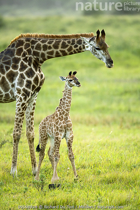 Northern Giraffe (Giraffa camelopardalis) mother and calf, iSimangaliso Wetland Park, South Africa, Adult, Baby, Calf, Color Image, Day, Female, Full Length, Giraffa camelopardalis, iSimangaliso Wetland Park, Mother, Nobody, Northern Giraffe, Outdoors, Parent, Photography, Side View, South Africa, Two Animals, Vertical, Waist Up, Wildlife,Northern Giraffe,South Africa, Richard Du Toit